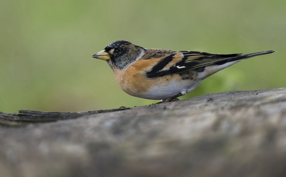 Best Male Brambling 17th October.png