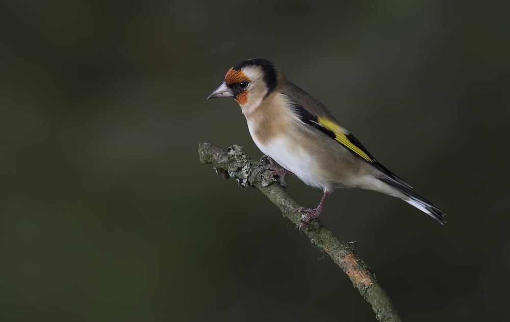 Goldfinch 22nd October.png