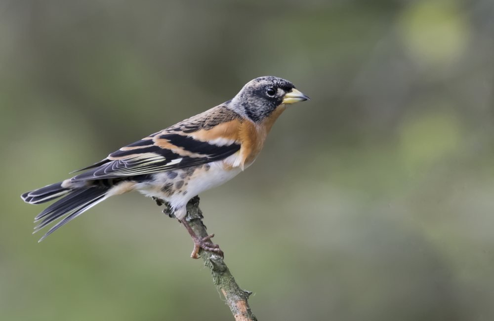 Male Brambling 23rd October.png