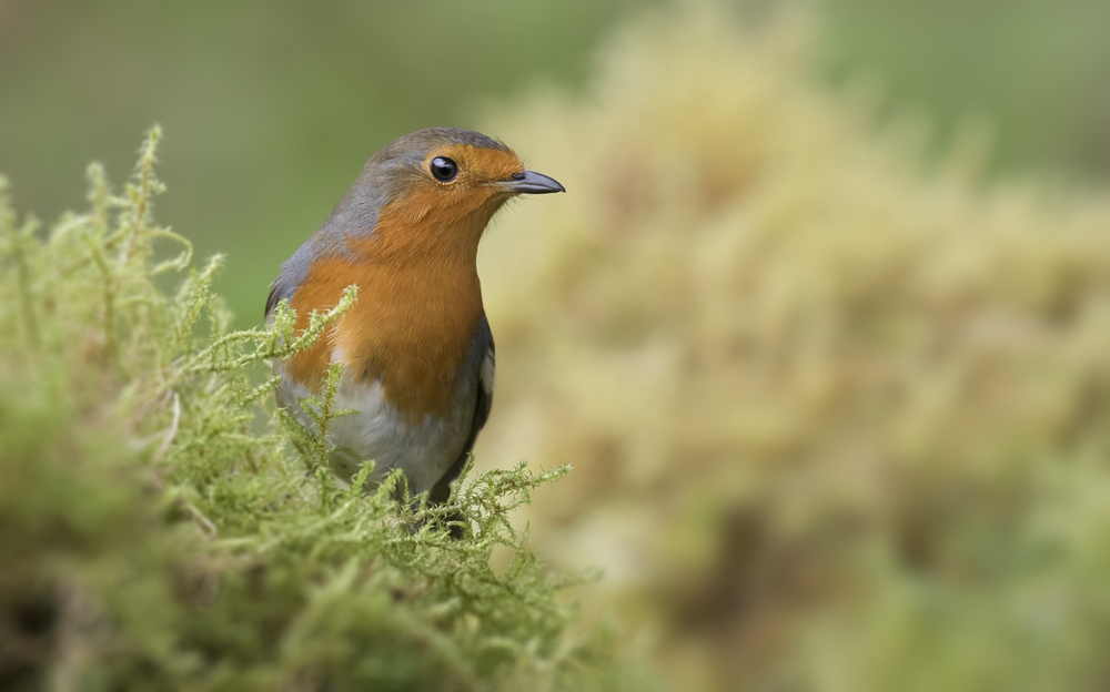Mossy Robin 23rd October.png