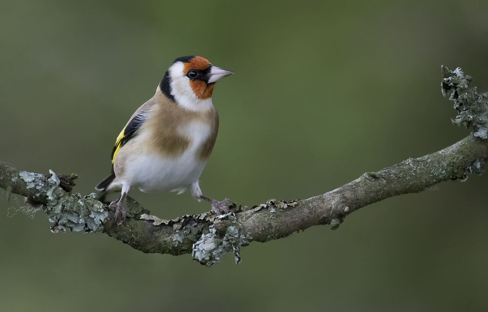 Goldfinch 23rd October.png