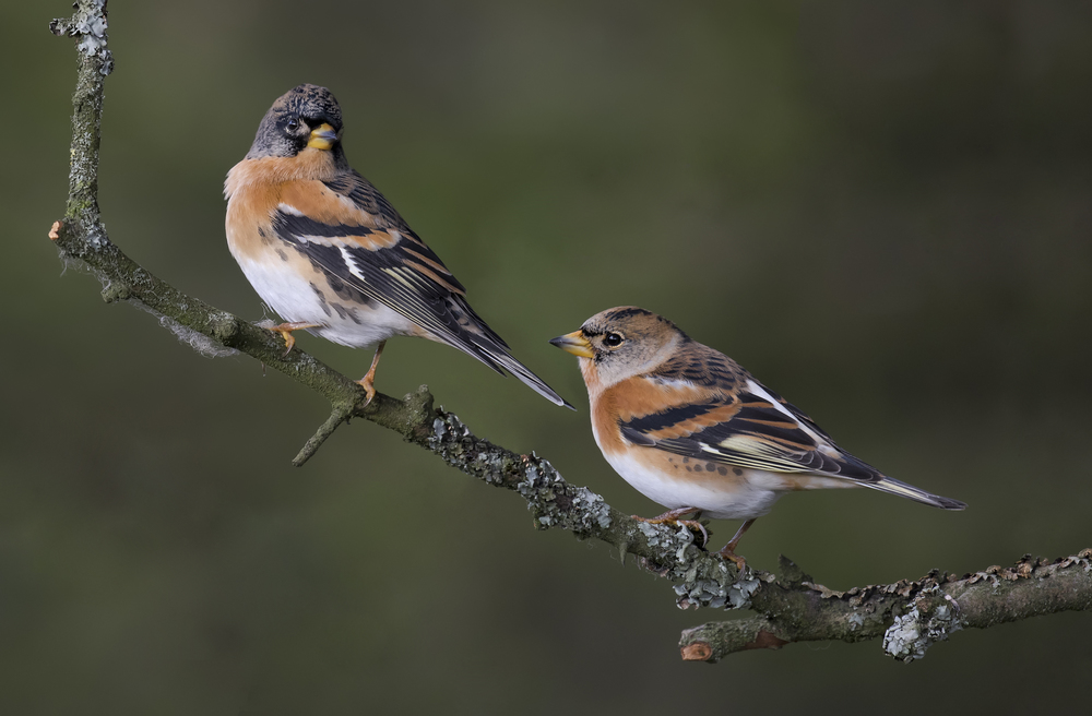 Female Brambling Best 22nd October copy copy.jpg