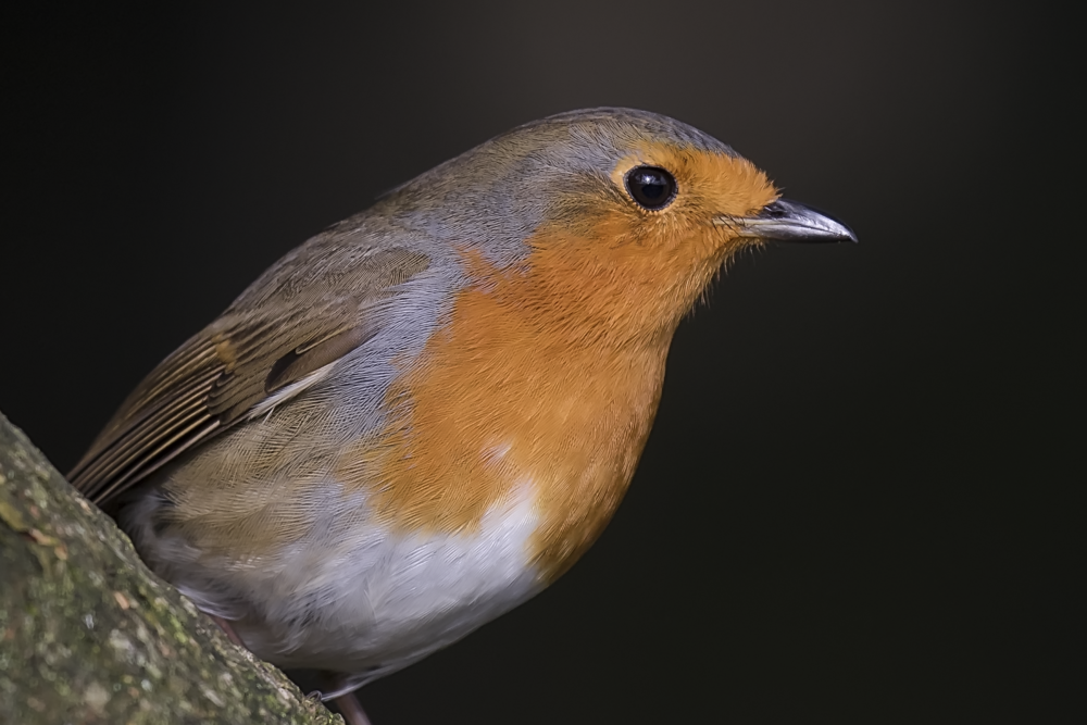 Robin Cropped 29th October.png