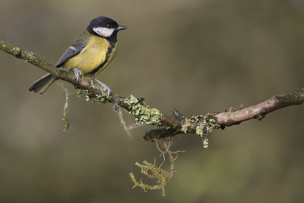 Great Tit 29th October.png
