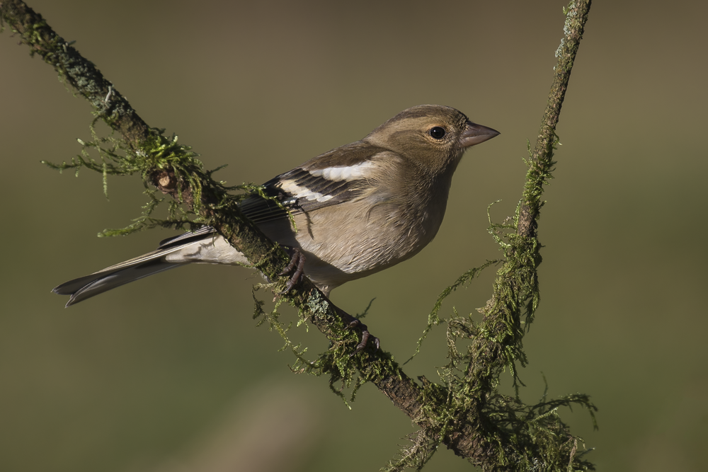 Chaffinch 1st November.png