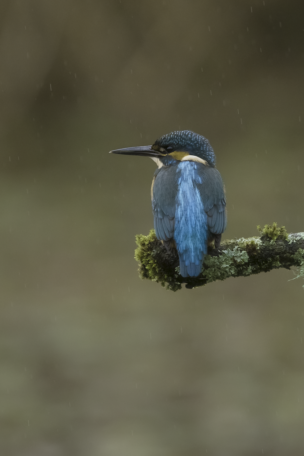 Kingfisher Raining 19th November.png