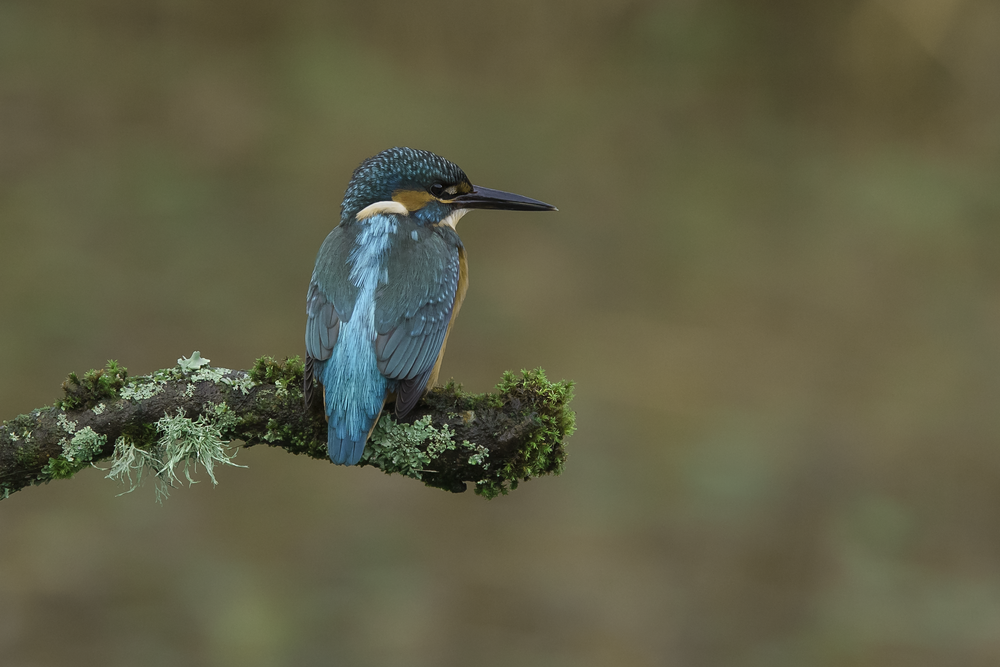 Kingfisher Sharp 19th November.png