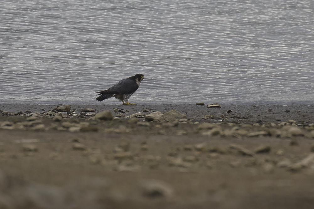 Peregrine Falcon Llandegfedd 22nd November.png
