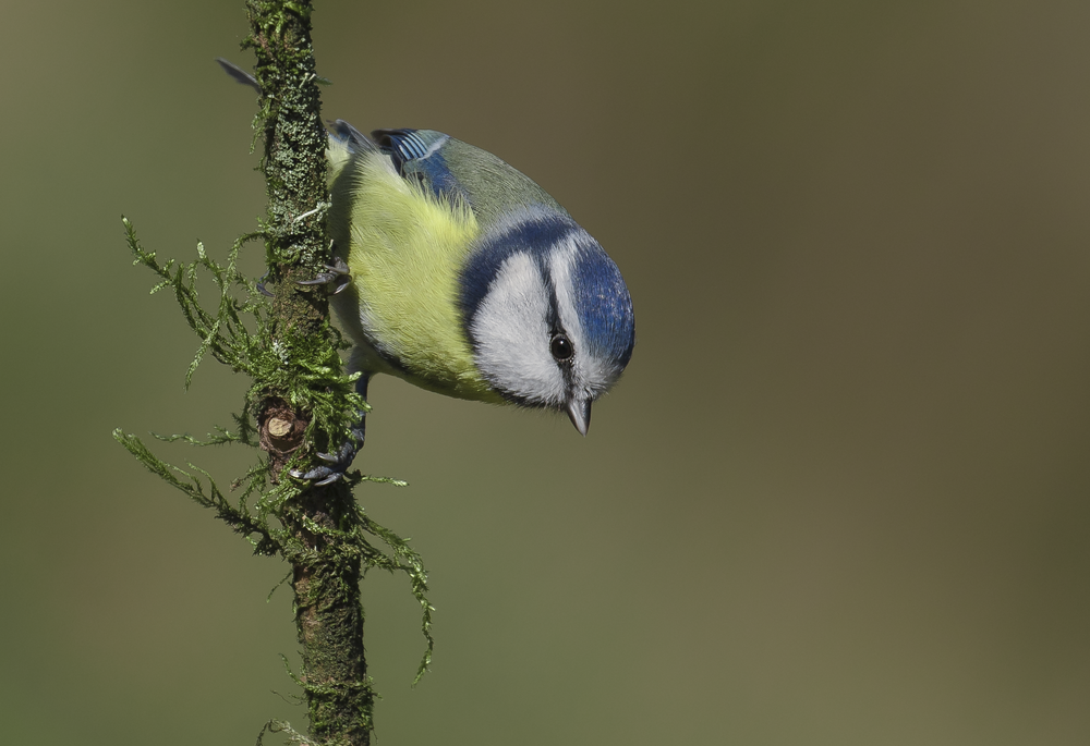 Bluetit 8th November.png