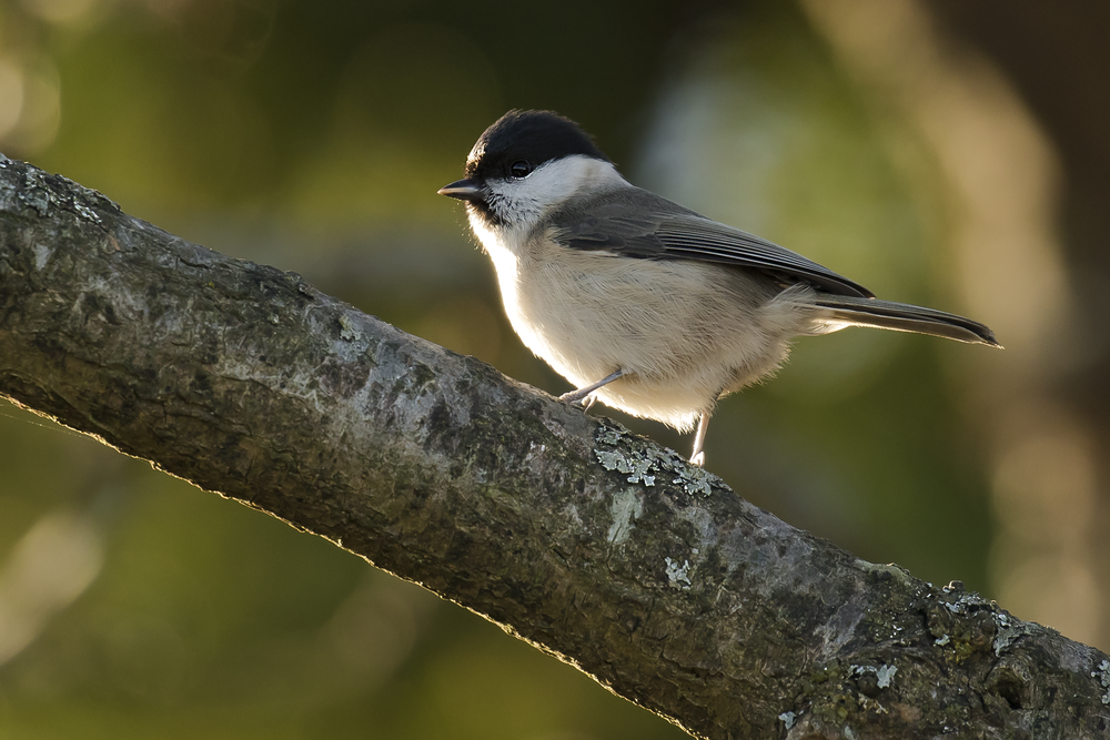 Marsh Tit 22nd November.png