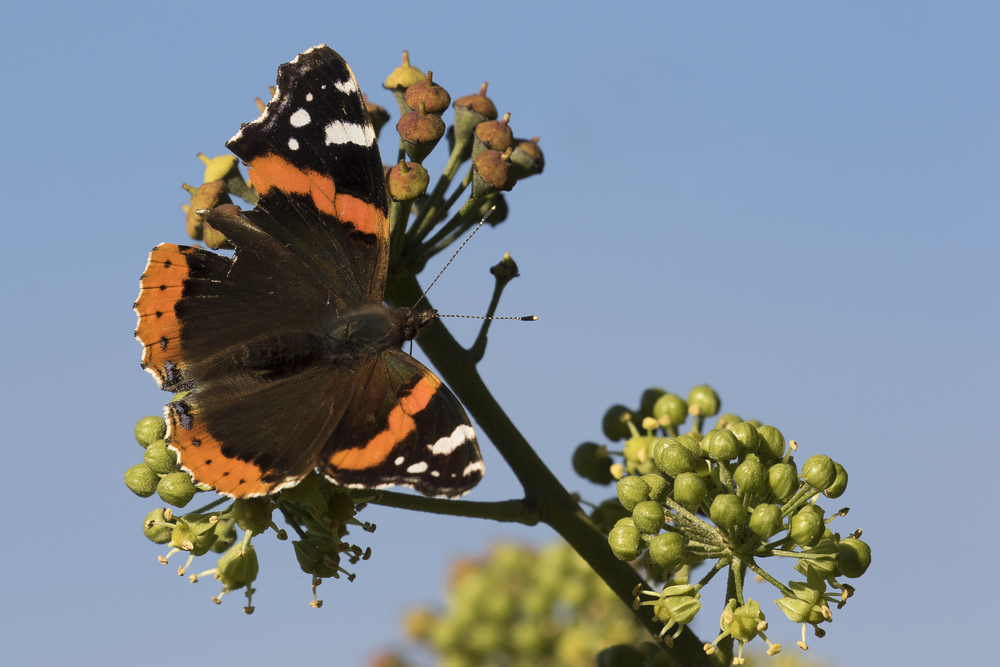 Red Admiral 22nd November.png