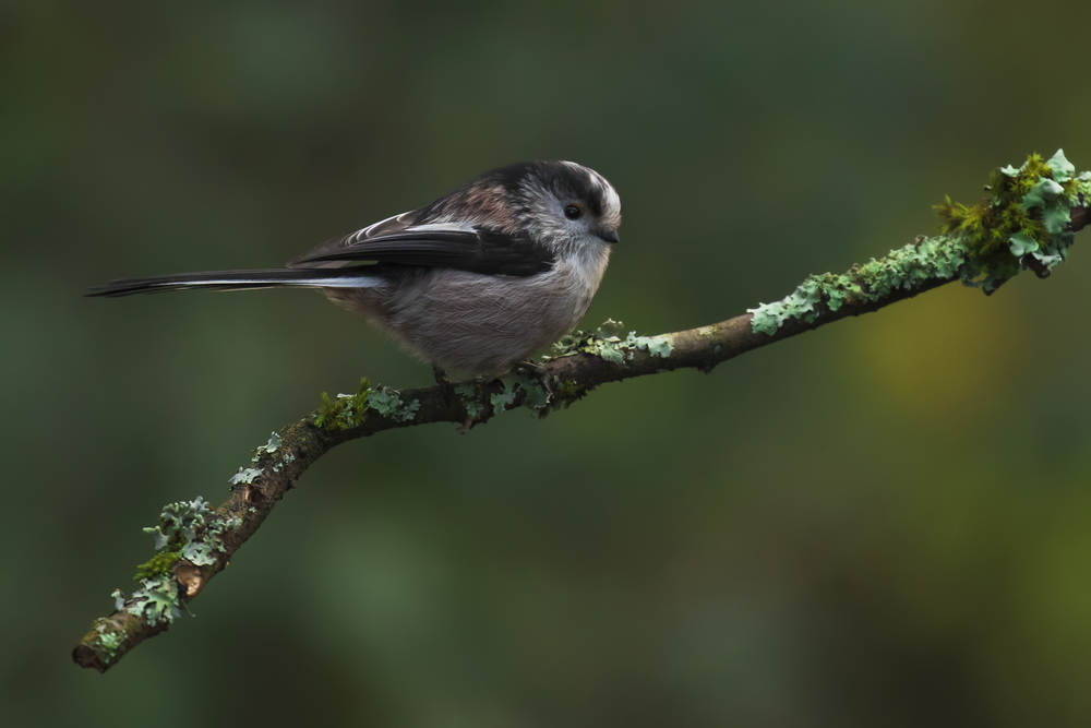 Long-tailed Tit 24th December.png