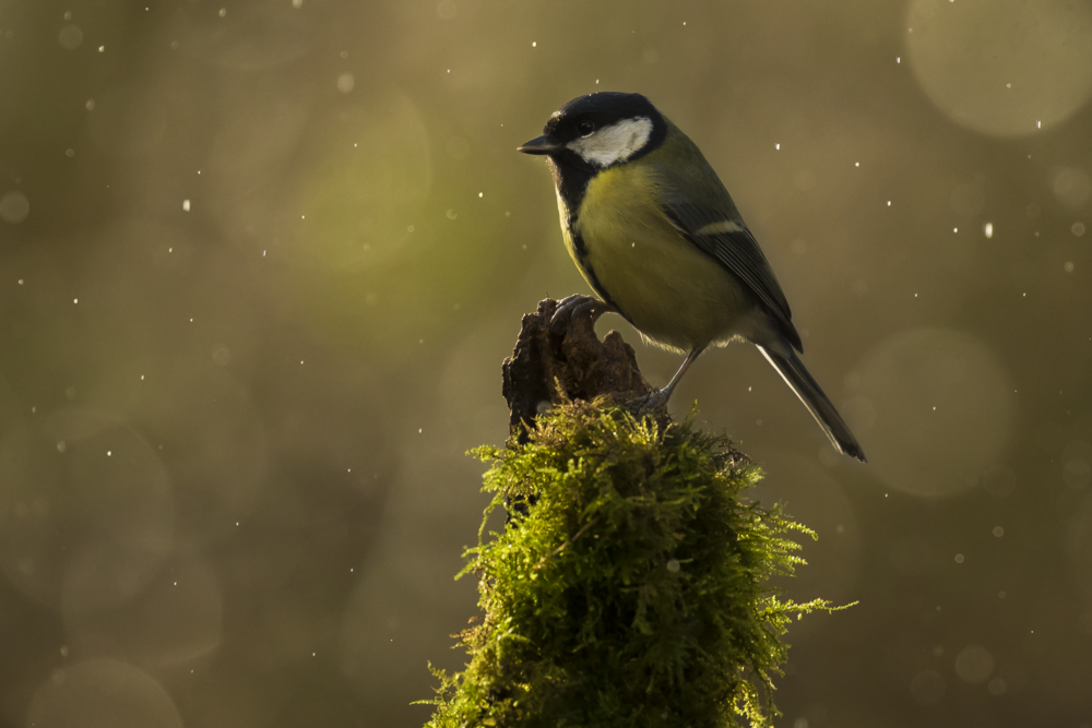 Great Tit Rain 24th December.png