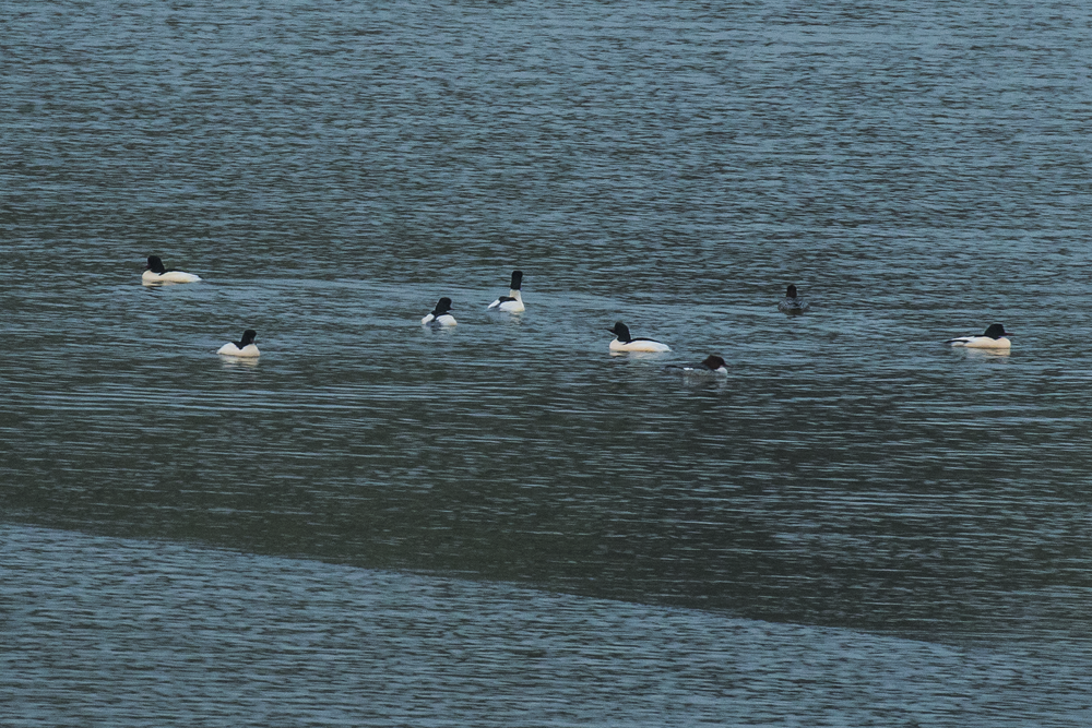 Goosander 27th December.png