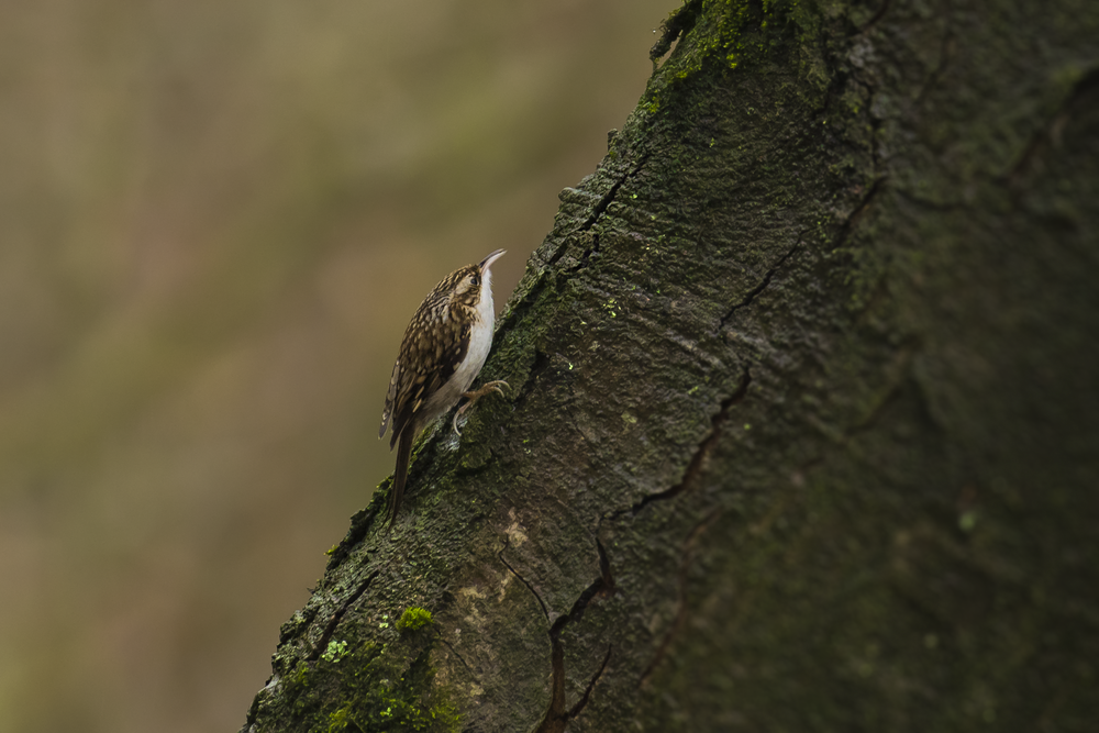 Tree Creeper 27th December.png
