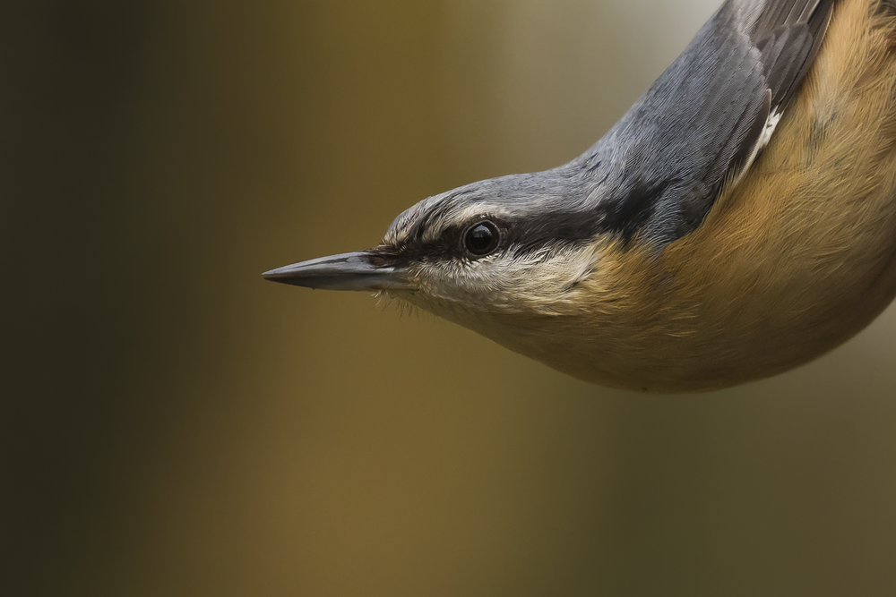 Nuthatch 27th December.png