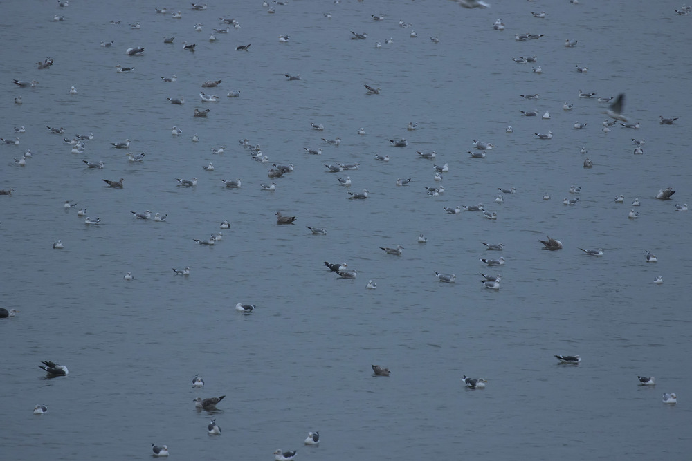Gull Roost 27th December.jpg