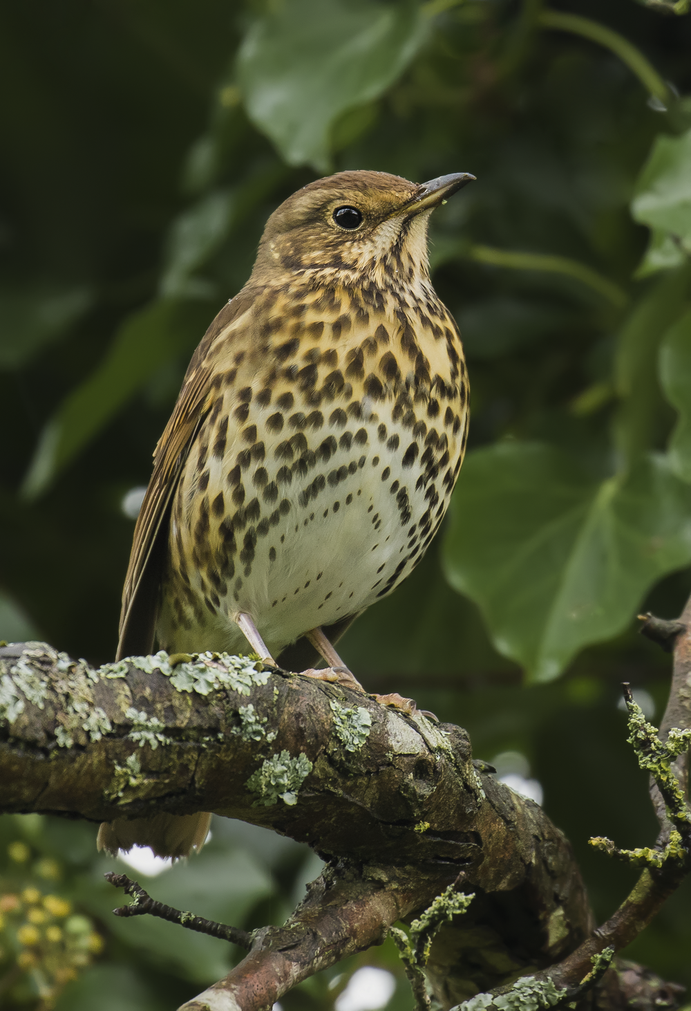 Song Thrush 2nd January 16.png
