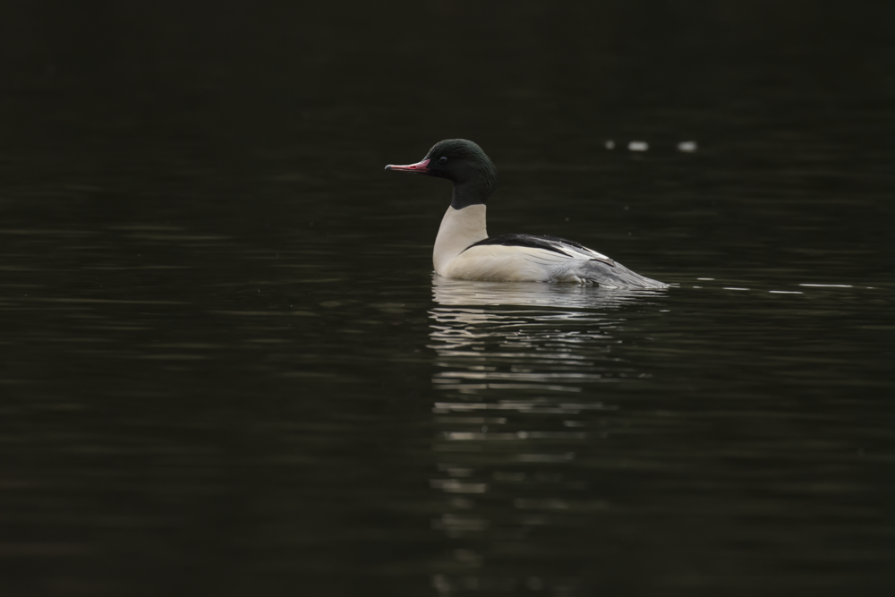 Male Goosander 2nd January 16.png