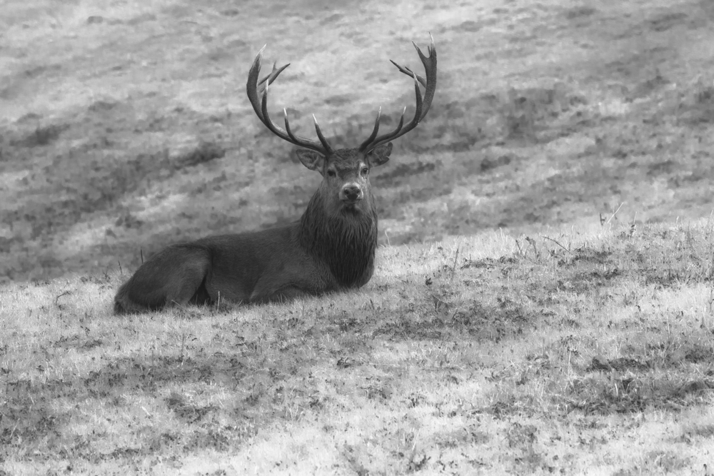 Red Deer Stagg B&W