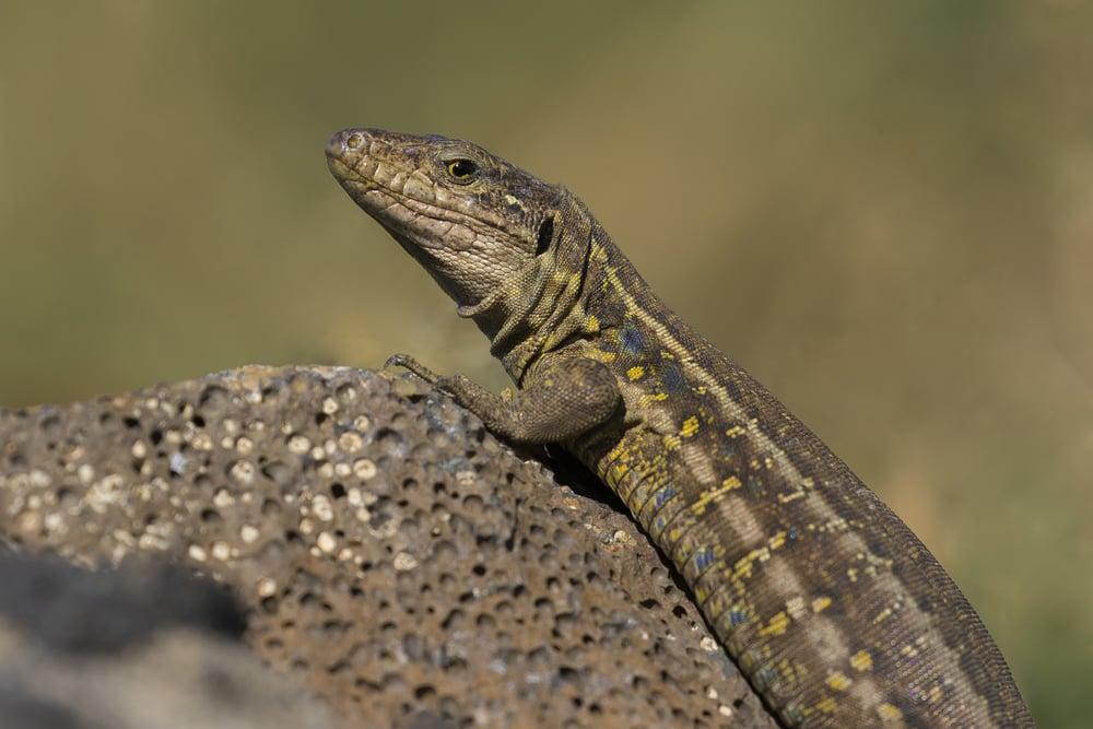 Lizard Colourful