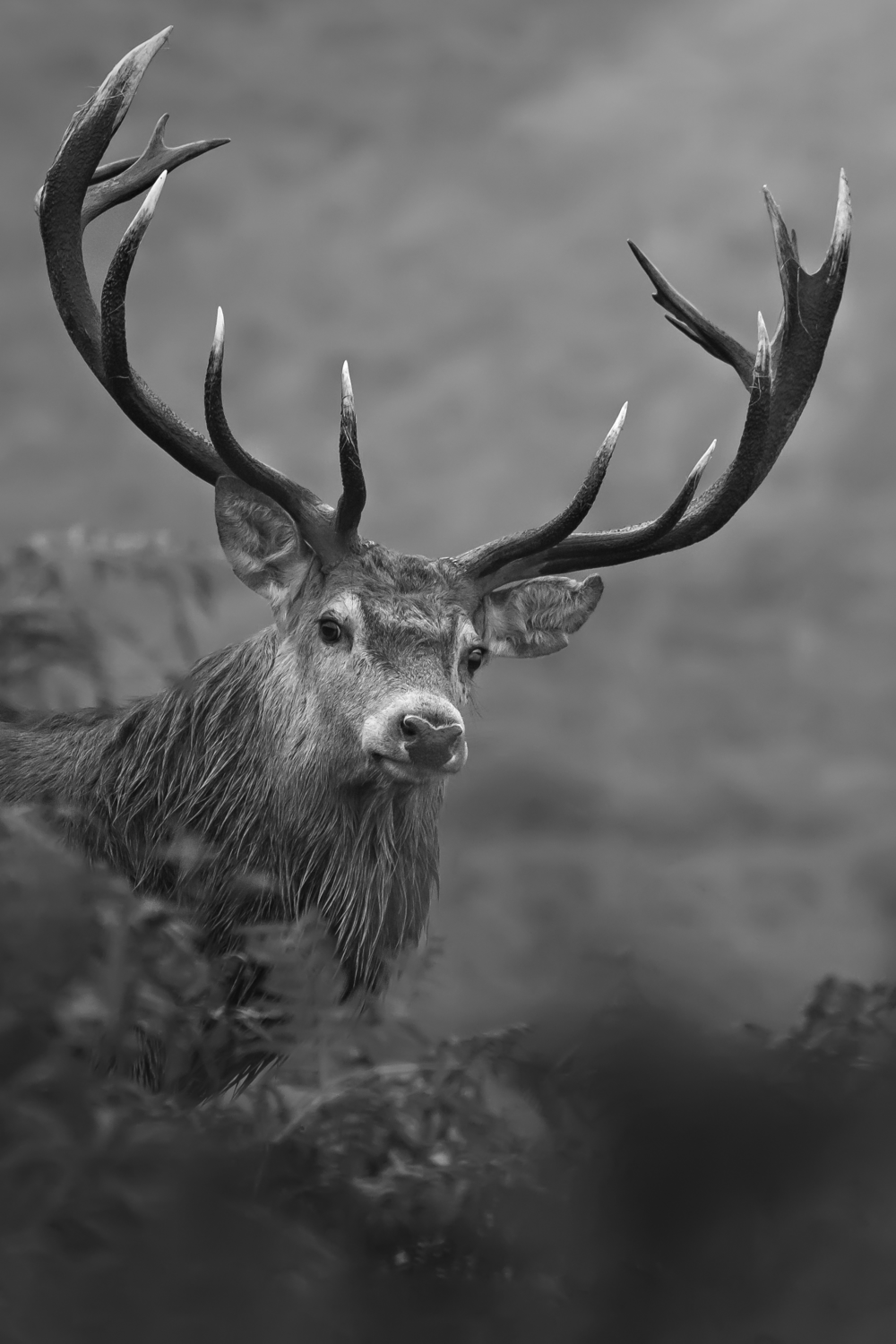 Red Deer Stagg