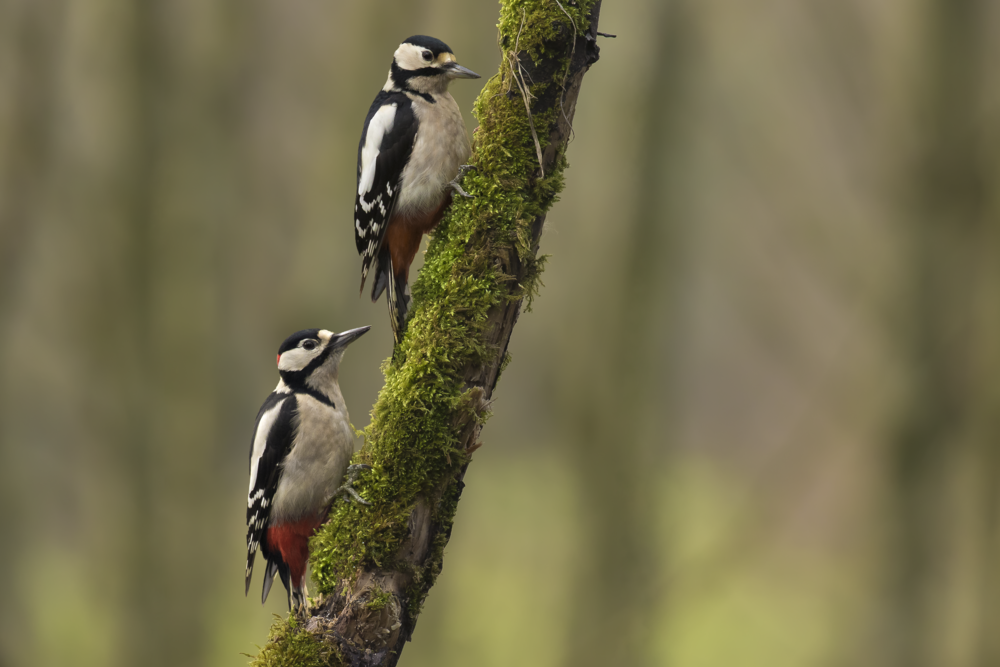 Great Spotted Woodpecker Male & Female landscape