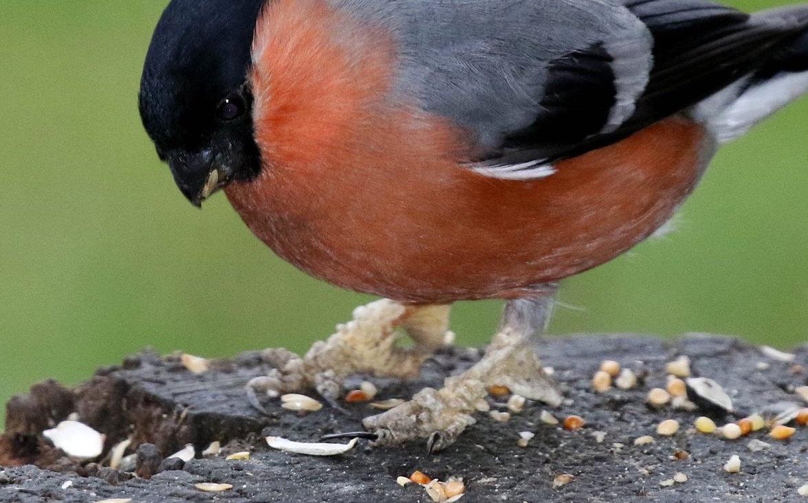 fringilla papillomavirus bird)