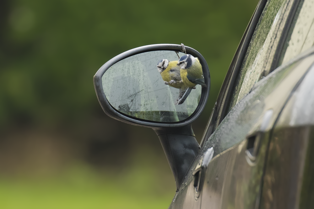 Blue Tit Mirror Fight