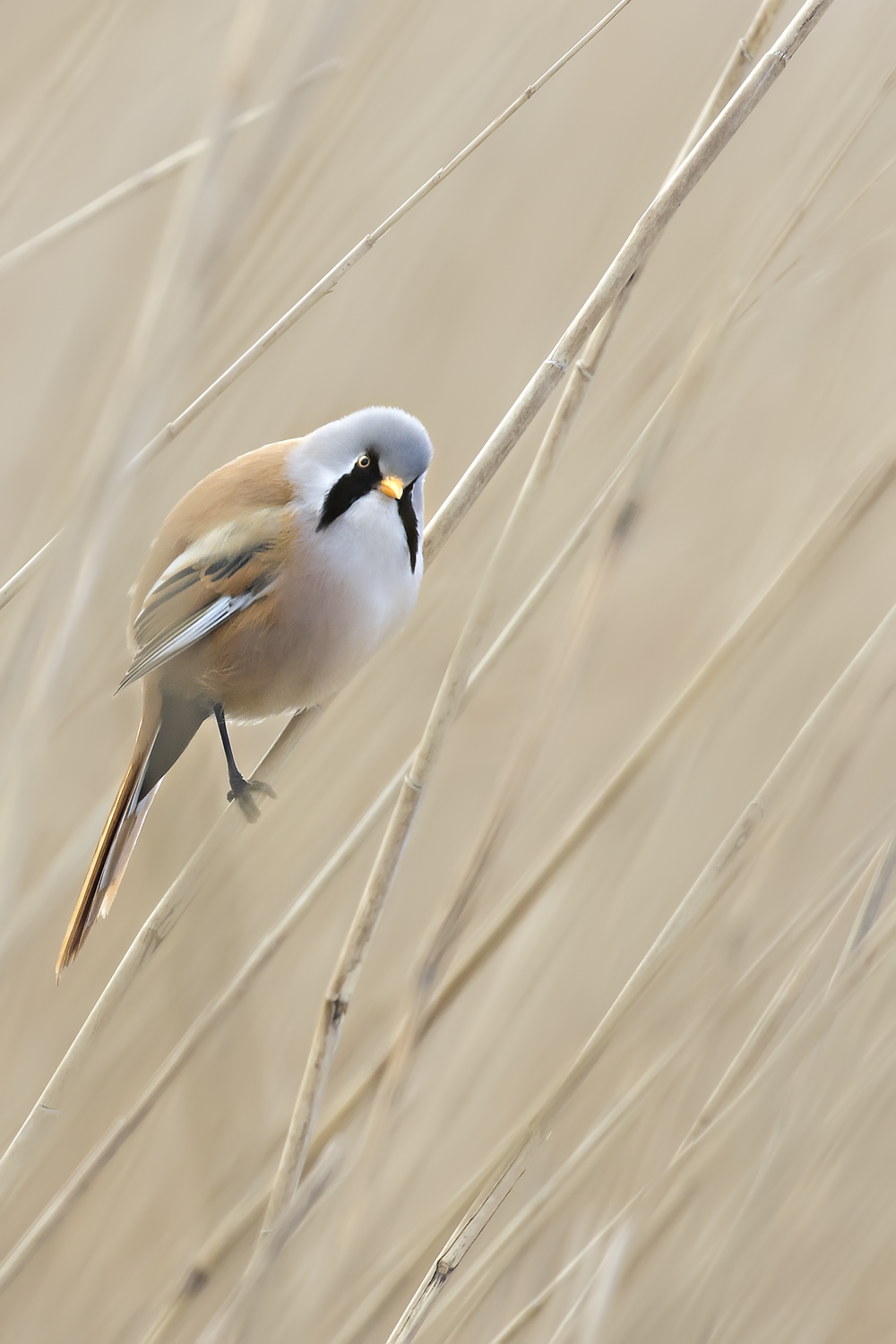 Bearded Tit Portrait