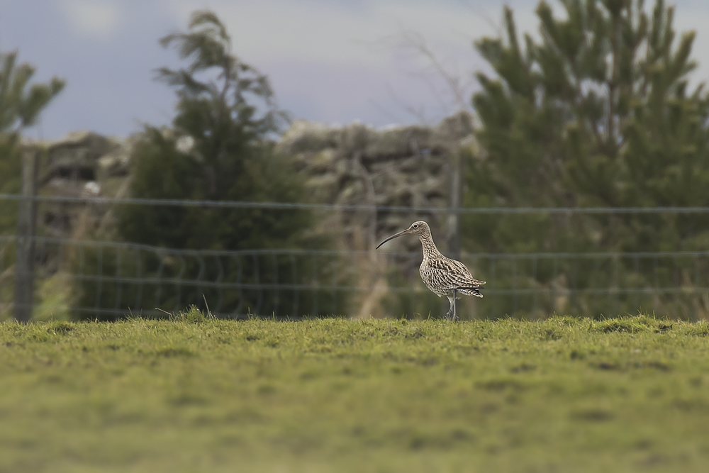 Curlew 3rd March.png