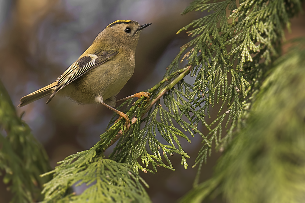 Goldcrest 13th March.png