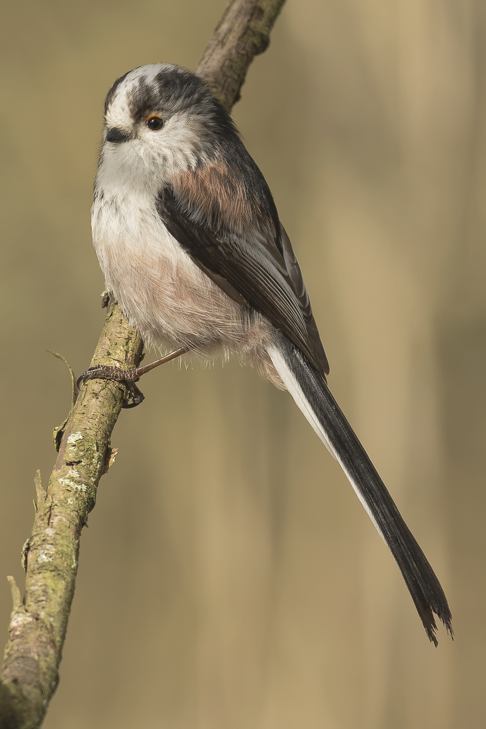 Long-tailed Tit 28th March.png