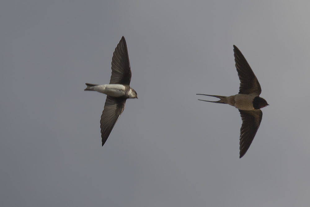 Sand Martin & Swallow 28th March.jpg