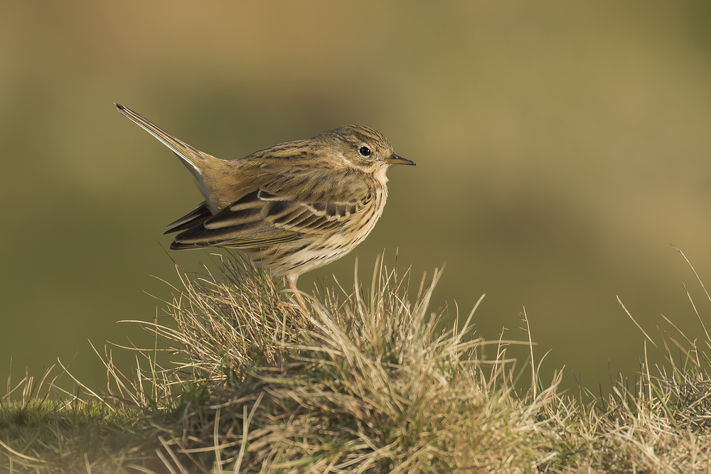 Meadow Pipit Bright 30th March.png