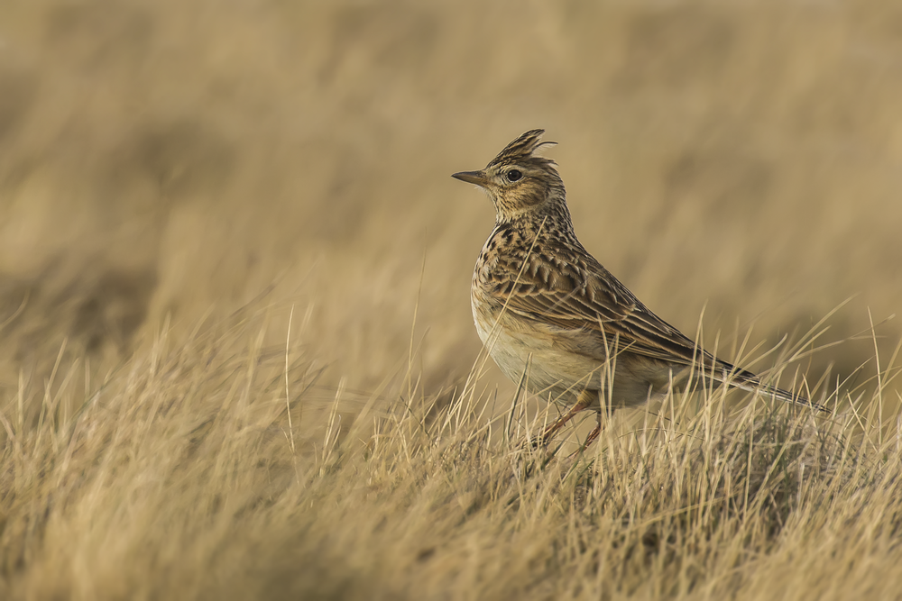 Male Skylark 20th March.png