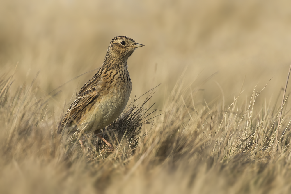 Female Skylark 30th March.png