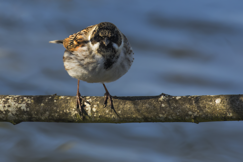 Reed Bunting 2nd April.png