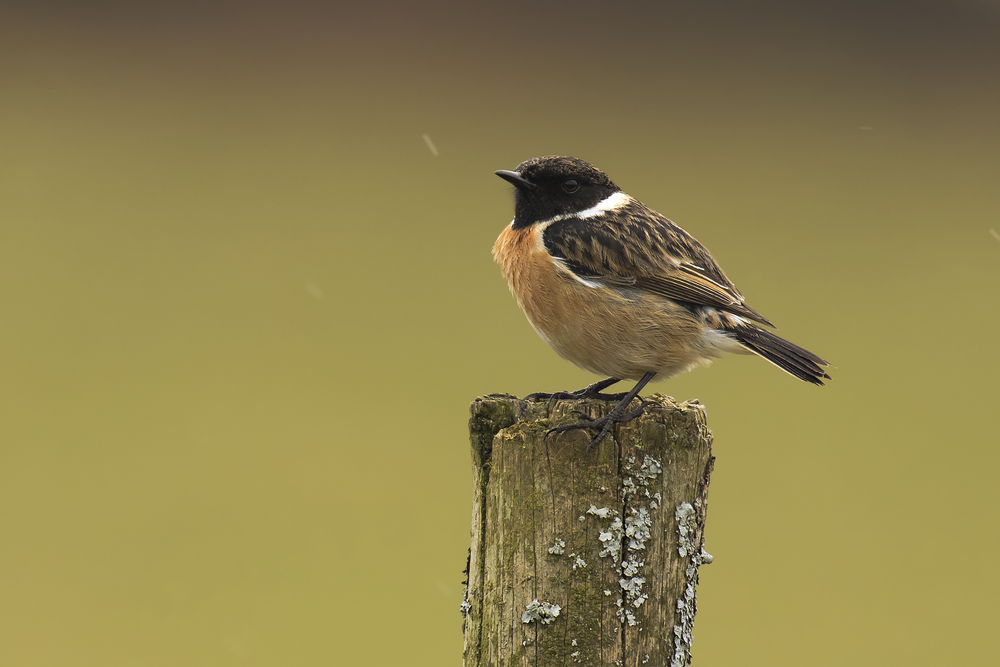 Stonechat 3rd April.png