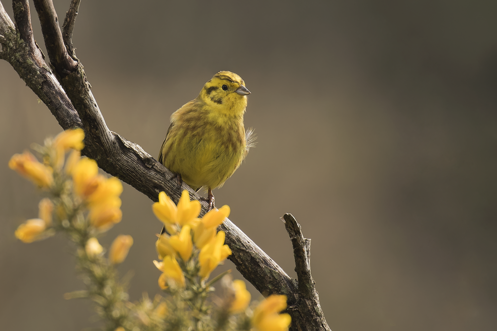 Yellowhammer 3rd April.png