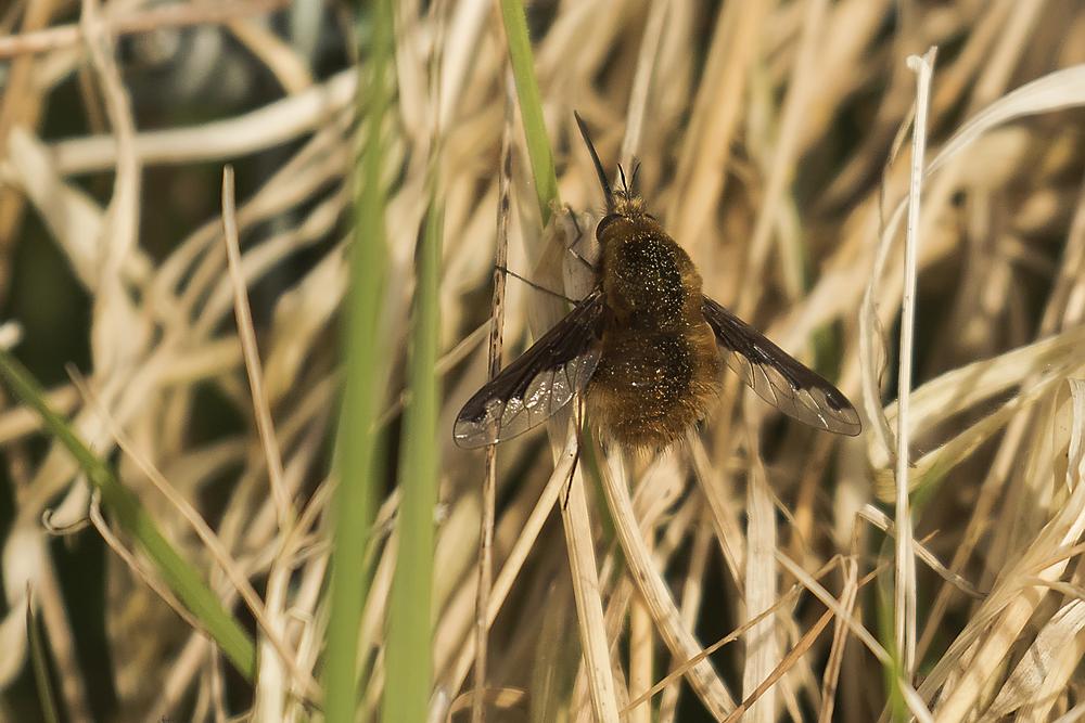 Dark-edged Beefly