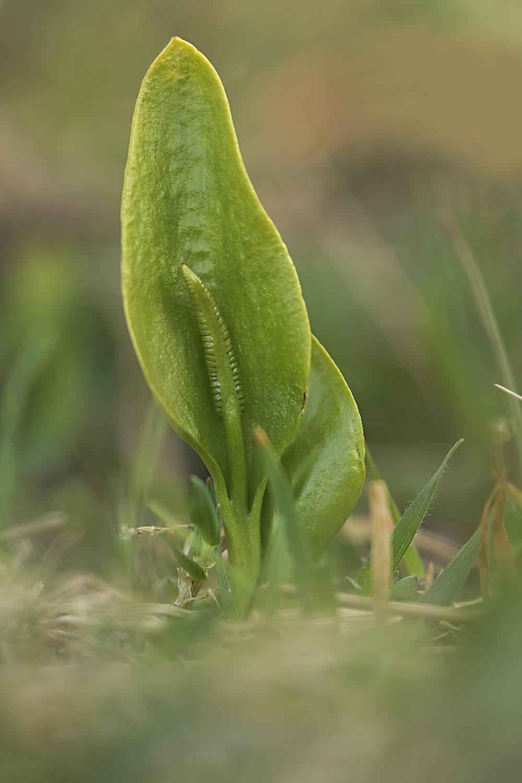 Adders-tongue Fern