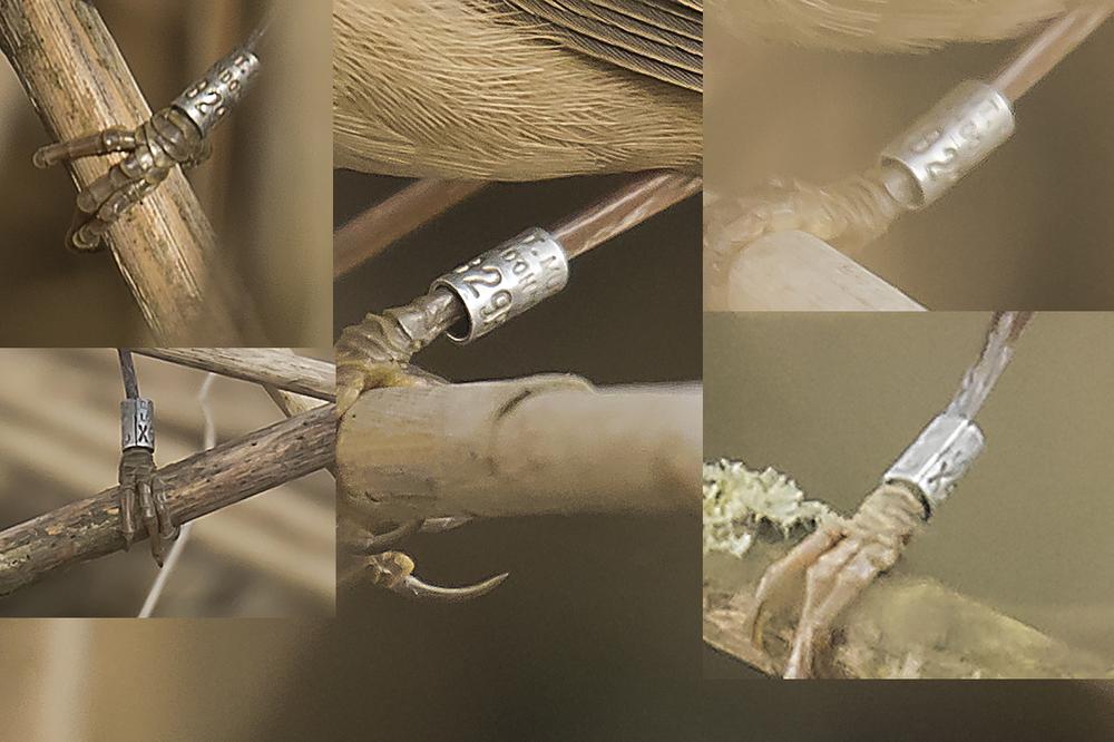 Reed Warbler Ring