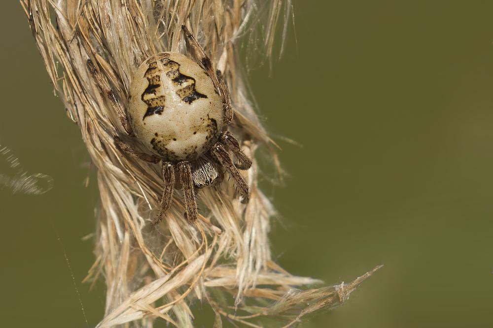 Furrow Orbweaver Spider