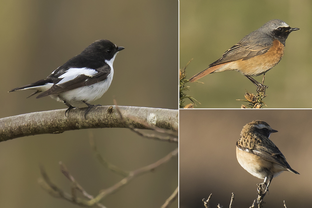 Pied Flycatcher, Redstart and Whinchat