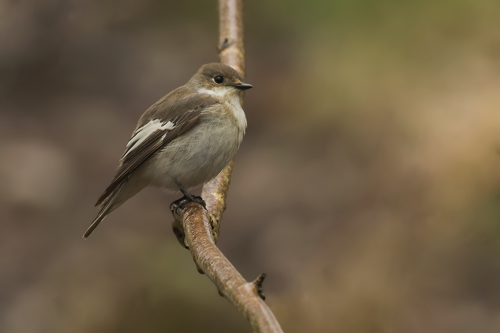 Female Pied Flycatcher.png