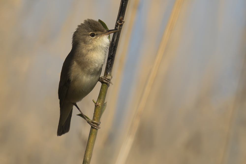 Reed Warbler 4th May.png