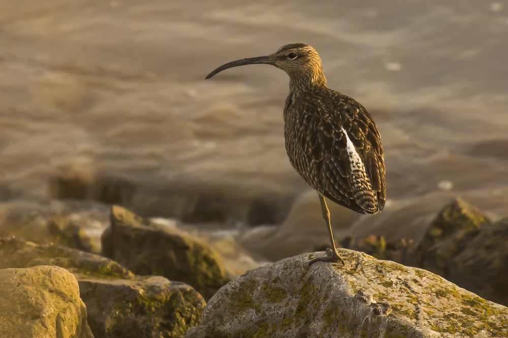 Whimbrel 5th May.png