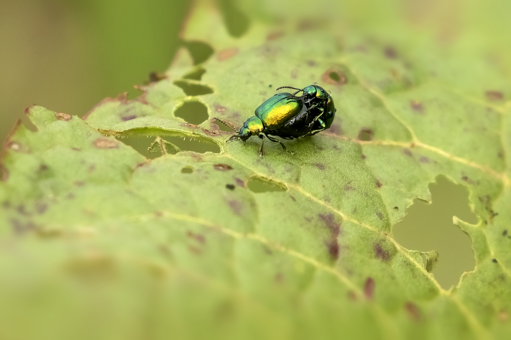 Green Dock Beetle.png