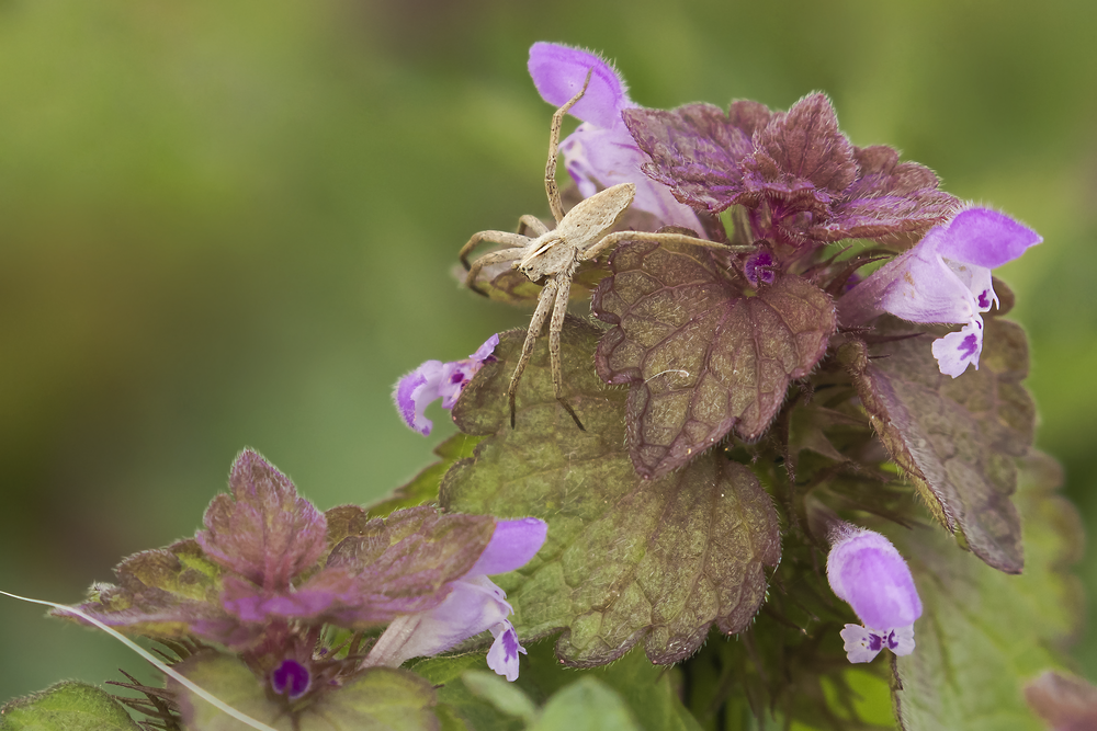 Nursery Web Spider on Red Dead-nettle 7th May.png